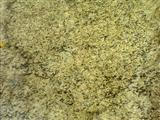 Yellow Santa Cecilia granite tiles